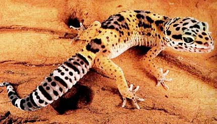 Long time Pics of adult leopard geckos