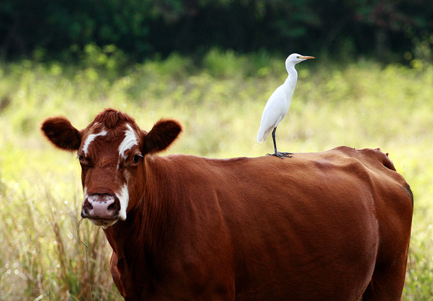 cattle egrets and livestock relationship problems
