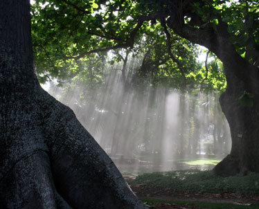 Sunlight Streams Through The Centuries Old Canopy At Foster Botanical Garden .