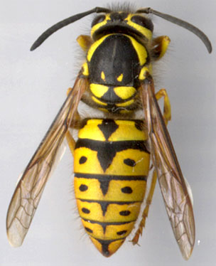 Maui park on lookout for aggressive wasps | starbulletin ... | 304 x 374 jpeg 27kB